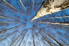 Abedul-árboles Fotografía de archivo libre de regalías