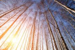Abedul-árboles Fotos de archivo