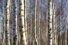 Abedul-árboles Foto de archivo libre de regalías
