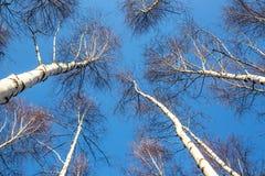 Abedul-árboles Fotos de archivo libres de regalías