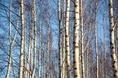 Abedul-árboles Fotografía de archivo