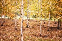 Abedul-árboles jovenes Imagenes de archivo