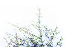 Abedul ártico en primavera en el fondo blanco Imagen de archivo libre de regalías
