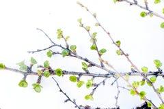 Abedul ártico en primavera en el fondo blanco Foto de archivo libre de regalías