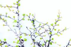Abedul ártico en primavera en el fondo blanco Fotos de archivo libres de regalías