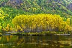 Abedul amarilleado en el banco del río Zhombolok Fotos de archivo libres de regalías