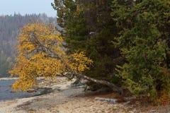 Abedul amarilleado en el lago Fotografía de archivo
