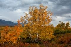 Abedul amarilleado en un fondo del cielo nublado Imagenes de archivo