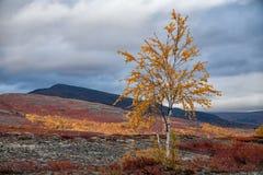Abedul amarilleado solo en montañas del otoño Foto de archivo