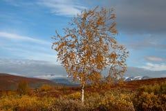 Abedul amarilleado solo en montañas del otoño Fotos de archivo libres de regalías