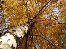 Abedul amarillo Foto de archivo libre de regalías