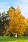 Abedul amarillo Imagen de archivo