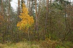 Abedul amarillo al borde de un bosque con los árboles de pino Imagen de archivo