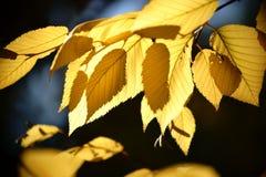Abedul amarillo de las hojas de otoño Fotos de archivo libres de regalías