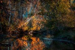 Abedul amarillo del árbol del arbusto sobre el agua Foto de archivo