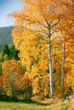 Abedul amarillo del otoño en el bosque Foto de archivo libre de regalías