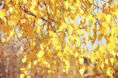 Abedul amarillo del otoño Parque del otoño Imagenes de archivo