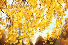 Abedul amarillo del otoño Parque del otoño Imagen de archivo