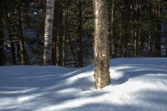 Abedul amarillo en bosque del invierno Foto de archivo