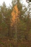 Abedul amarillo en el bosque Imágenes de archivo libres de regalías