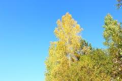 Abedul amarillo en fondo del cielo Fotos de archivo libres de regalías