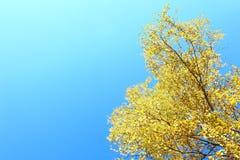 Abedul amarillo en fondo del cielo azul Imágenes de archivo libres de regalías