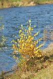 Abedul amarillo en la orilla del río Imagen de archivo libre de regalías