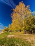 Abedul amarillo en los bancos del río Fotografía de archivo libre de regalías