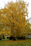 Abedul amarillo en otoño Imagen de archivo libre de regalías