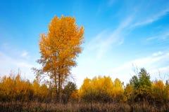 Abedul amarillo en prado en el medio del bosque Fotografía de archivo libre de regalías