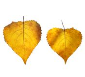 Abedul amarillo hermoso Fotos de archivo libres de regalías