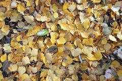 Abedul amarillo hermoso Imagen de archivo libre de regalías
