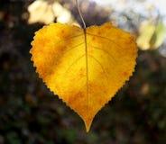 Abedul amarillo hermoso Imagenes de archivo