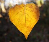Abedul amarillo hermoso Fotos de archivo