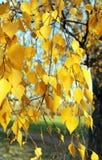 Abedul amarillo hermoso Imagen de archivo