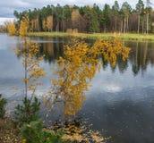 Abedul amarillo sobre el río Fotografía de archivo