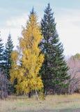 Abedul amarillo y pino verde Fotografía de archivo libre de regalías