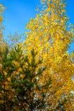 Abedul amarillo y pino verde en bosque Imagen de archivo