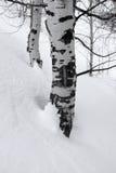 Abedul Aspen Trees en nieve del invierno Foto de archivo libre de regalías