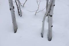 Abedul Aspen Trees en nieve del invierno Imagen de archivo libre de regalías