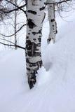 Abedul Aspen Trees en nieve del invierno Imágenes de archivo libres de regalías