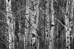 Abedul Aspen Trees en troncos de árbol desnudos del otoño Imágenes de archivo libres de regalías