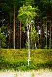 Abedul Betula L que crece en las dunas contra bosque del árbol de pino Imágenes de archivo libres de regalías