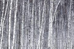 Abedul blanco Imágenes de archivo libres de regalías