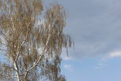 Abedul blanco con follaje de la primavera contra el cielo azul Flora del clima templado Foto de archivo libre de regalías