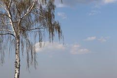 Abedul blanco con follaje de la primavera contra el cielo azul Flora del clima templado Fotografía de archivo