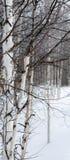 Abedul blanco contra la nieve blanca Foto de archivo