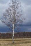 Abedul blanco contra un cielo azul Imagen de archivo libre de regalías