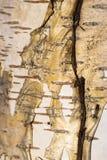 abedul blanco de la corteza de árbol del fondo negro Foto de archivo libre de regalías