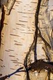 abedul blanco de la corteza de árbol del fondo negro Foto de archivo